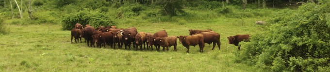 grass fed cows