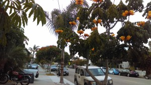 Seal Beach Coral Trees